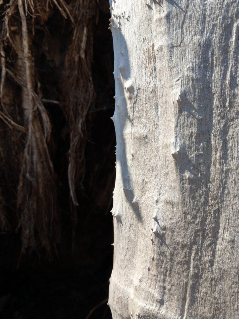 Weißer toter Baumstamm, rindenlos, mit Stacheln