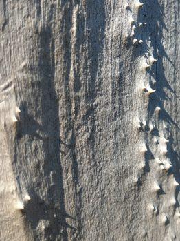 Weißer toter Baumstamm, rindenlos, mit Stacheln, Ausschnitt